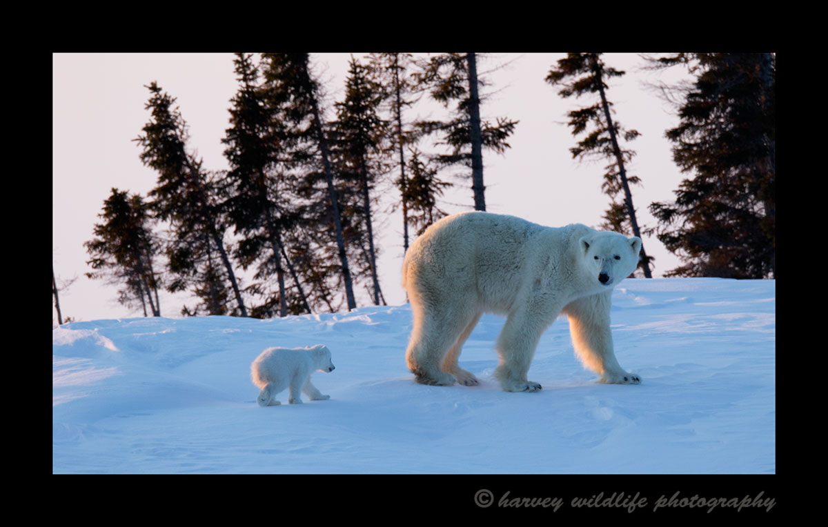 Polar bear mom and cub walking away at sunset in Wapusk National Park