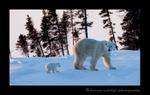 Polar bear mom and cub walking away at sunset in Wapusk National Park