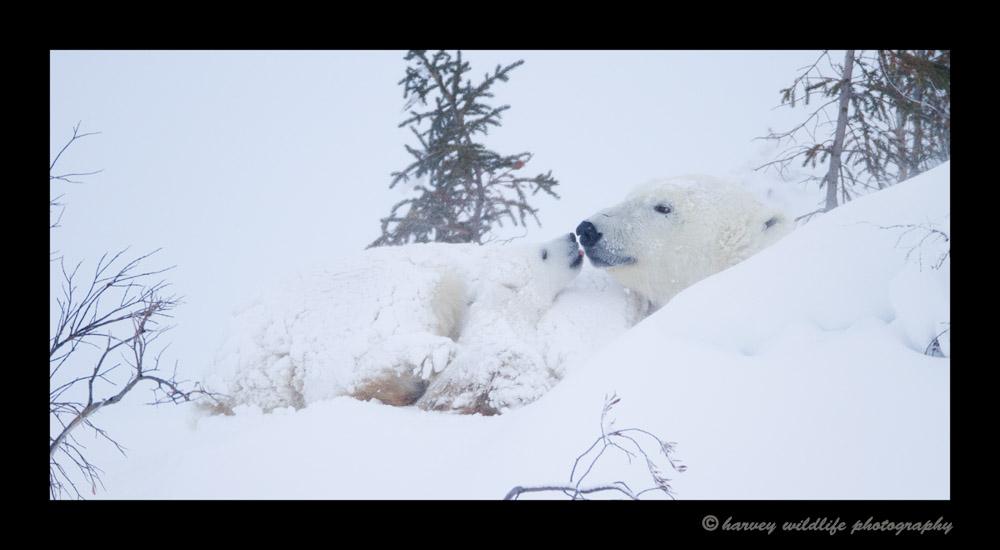 Polar_Kiss