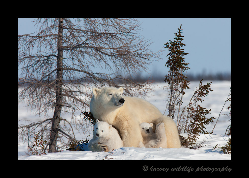 Polar bear mom and twins