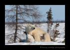 Polar bear mom and twins