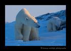 Polar_bear_2013