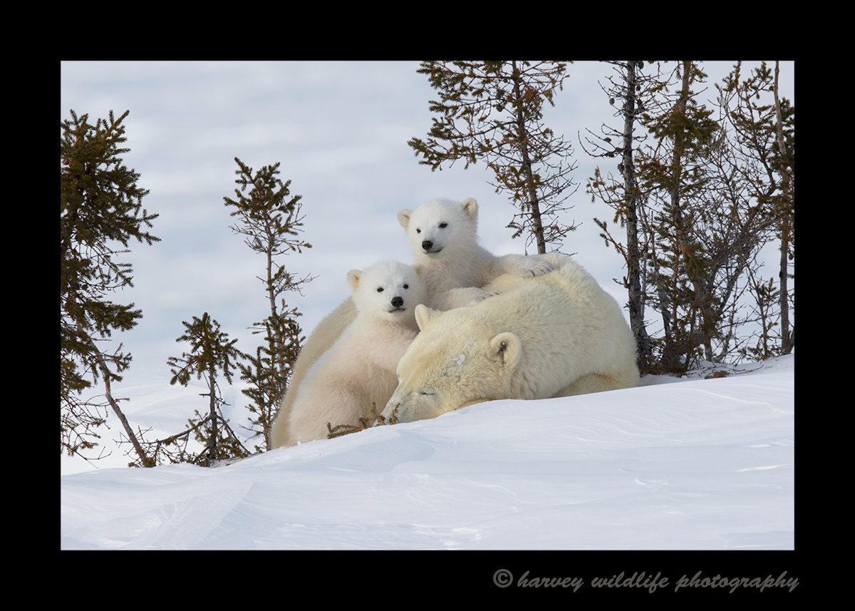 polar_bear_twins_2015