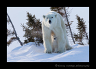 Polar bear cub taking refuge under moms legs in Wapusk National Park.