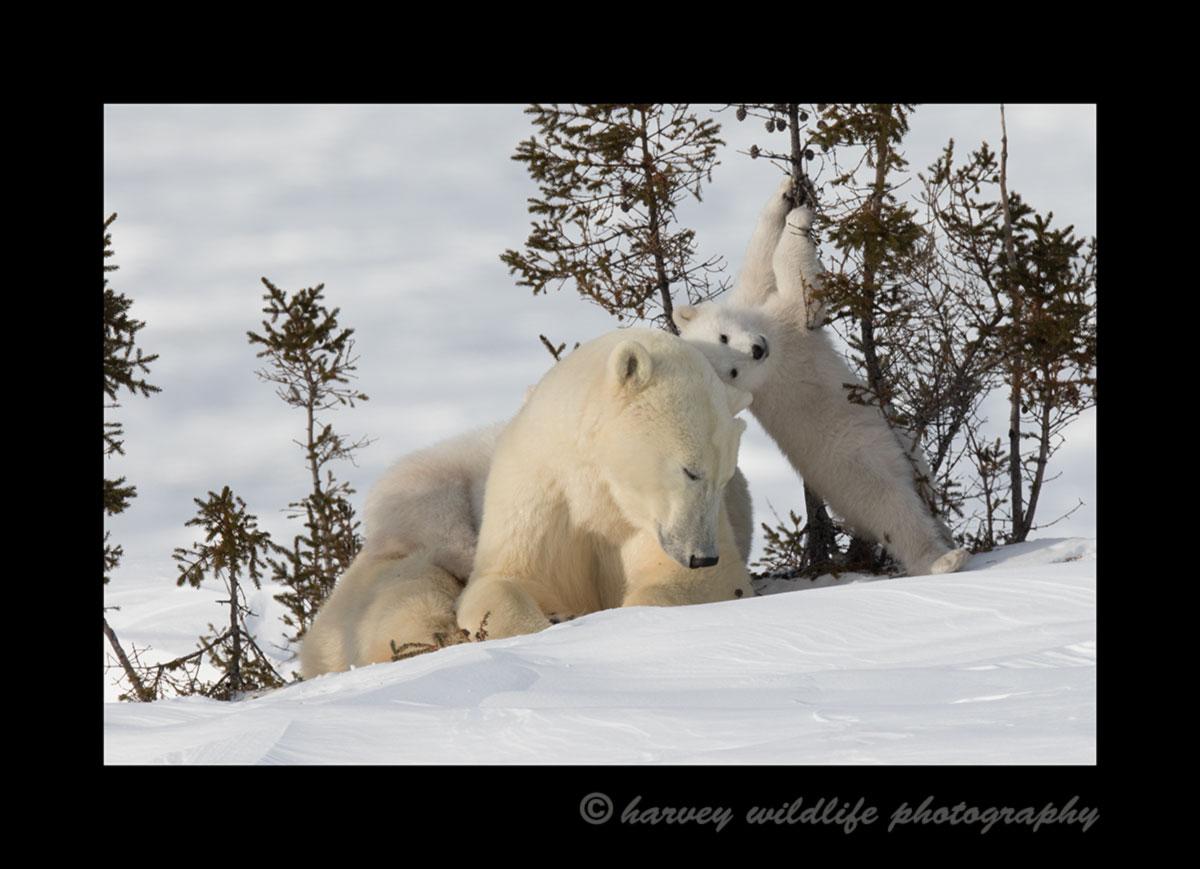 polar bear playing on a tree in Wapusk National Park
