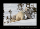 polar bear playing on a tree in Wapusk National Park