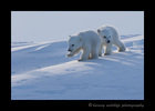 Polar Bear Cubs Walking 2015