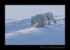 Polar Bear Cubs Walking 2015
