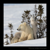 Polar bear cub picking and eating acorns in Wapusk National Park