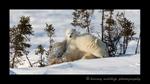 Polar bear family portrait in Wapusk National Park.