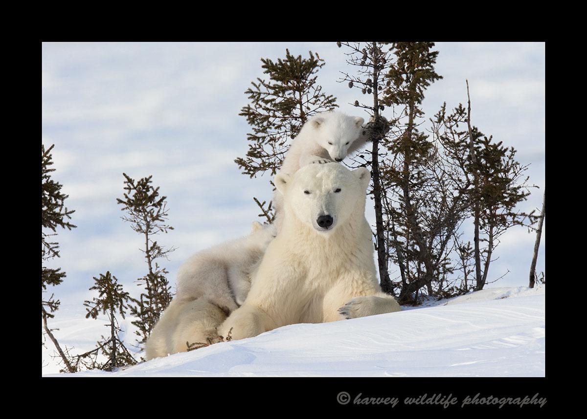 Baby Polar Bear on Mom\'s Head