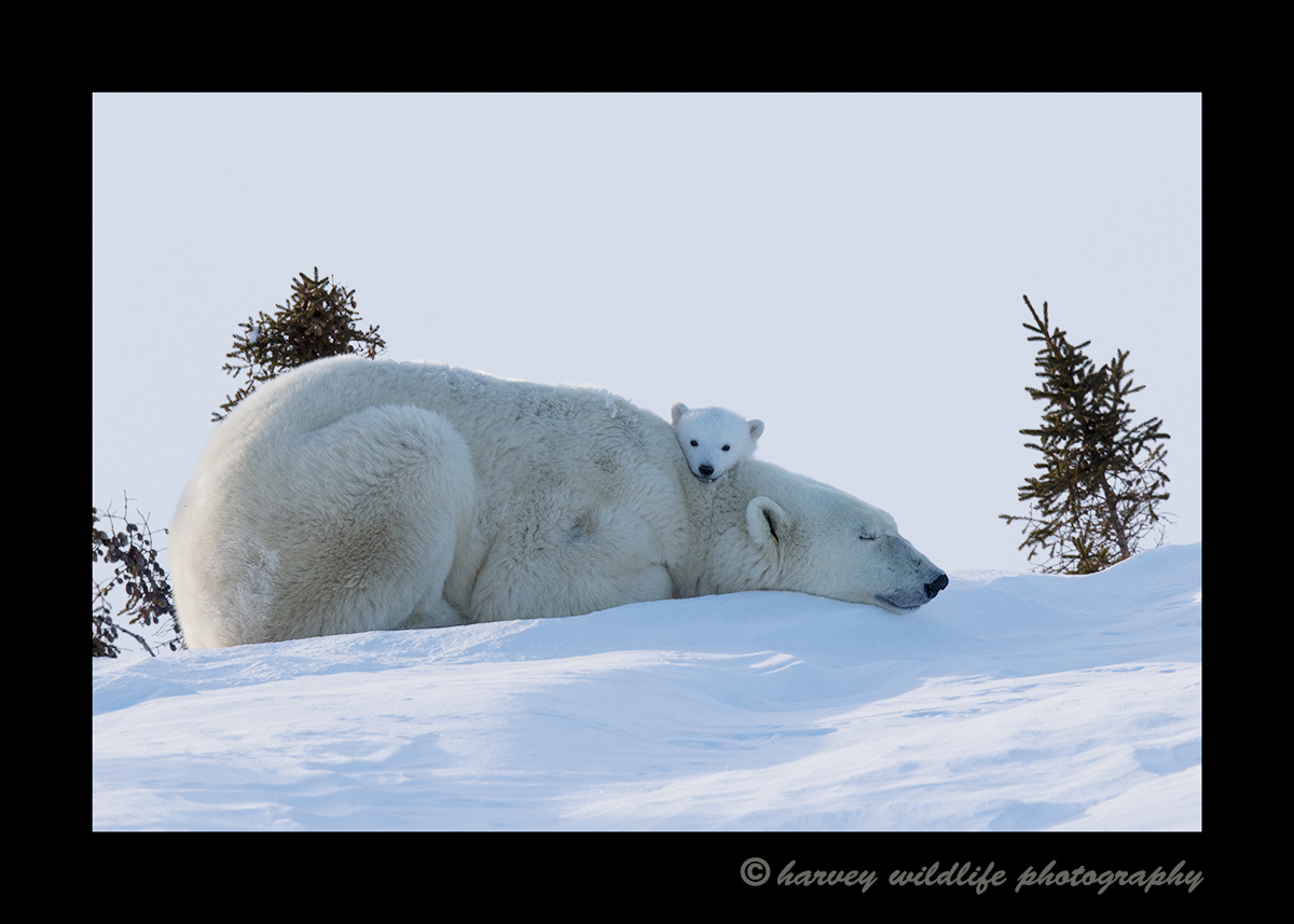 Picture of a polar bear cub resting her head on mom in Wapusk National Park, Manitoba.