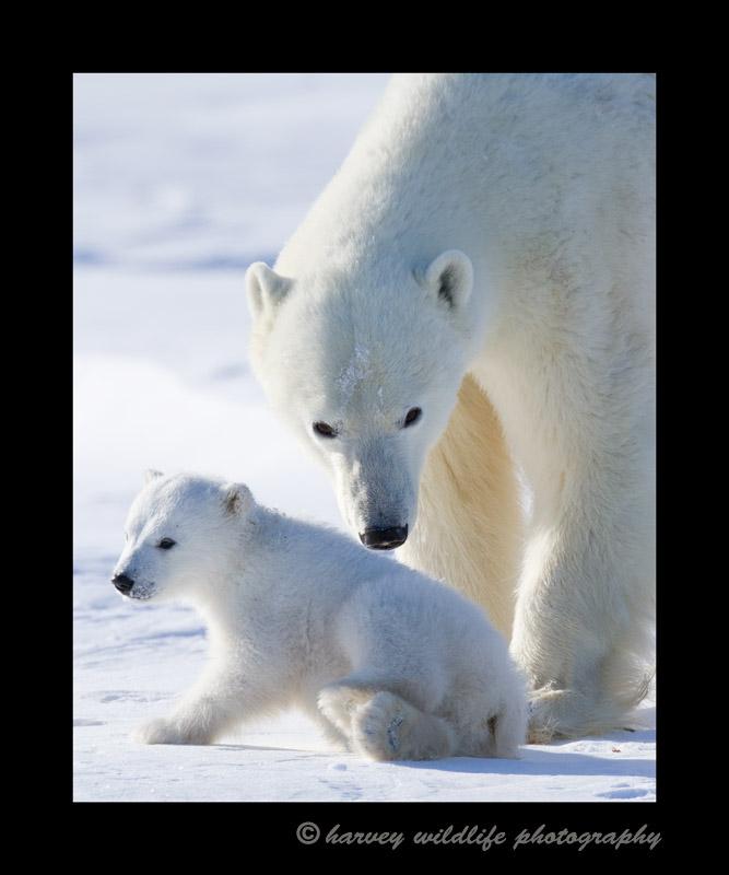 Polar_bear_mom_and_cub