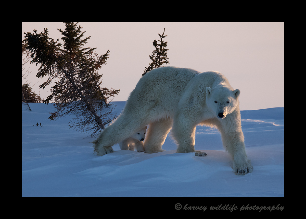 Polar bear mom and cub walking in Wapusk National Park