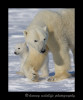 Polar_bear_mom_and_cub_walking