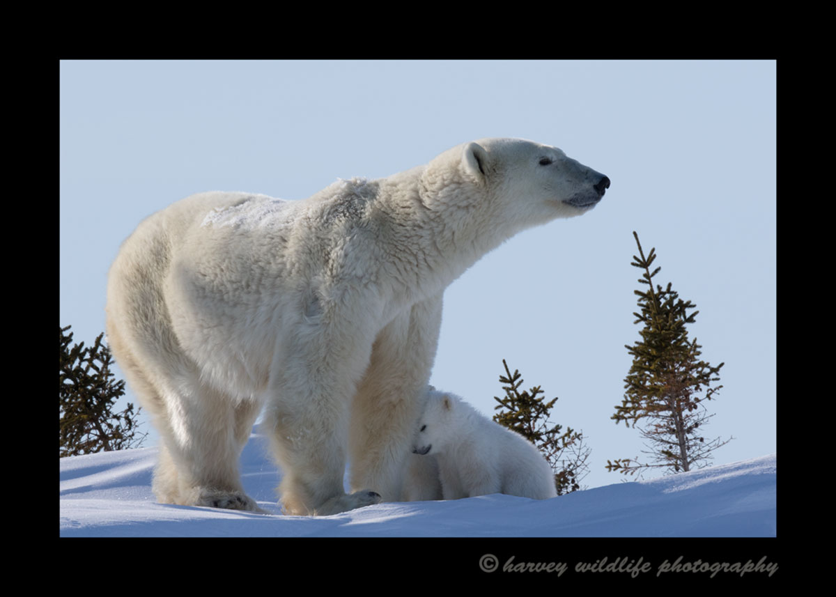 polar bear mom and cubs on a ridge in Wapusk National Park.