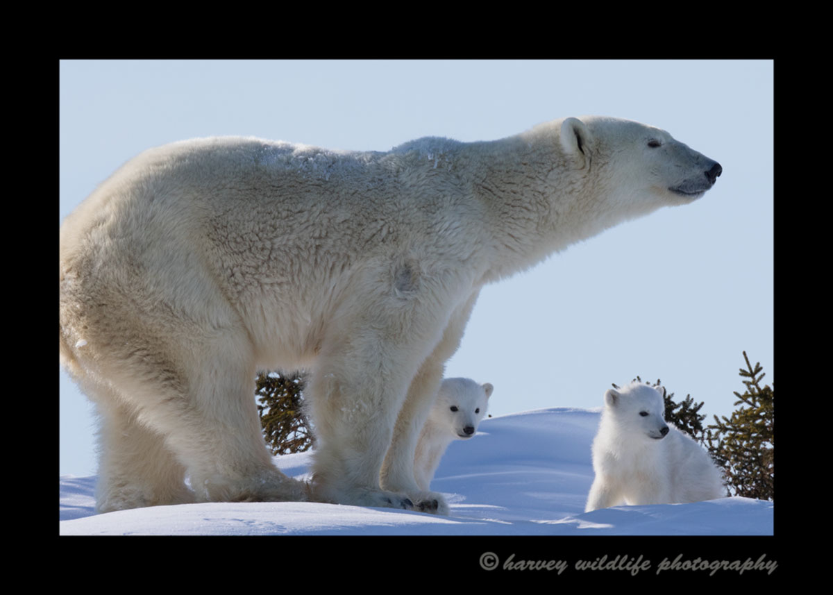 Polar bear mom and cubs on a ridge in Wapusk National Park 2015.