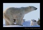 Polar bear mom and cubs on a ridge in Wapusk National Park 2015.