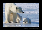Polar_bear_mom_and_twins
