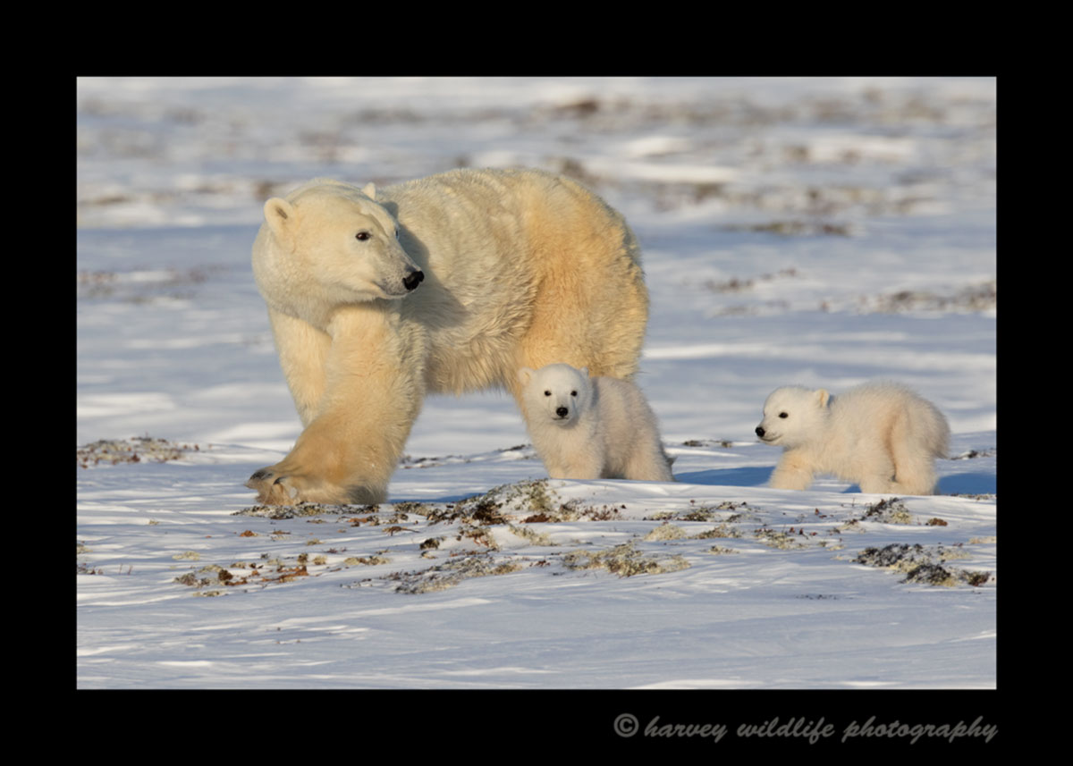 Polar bear mom and twins walking in Wapusk National Park, 2015