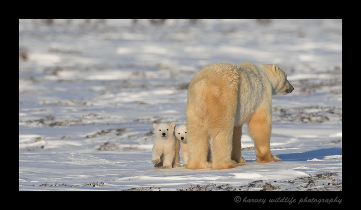 Polar bear cubs peeking around mom in Wapusk National Park, Manitoba.