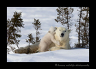 Polar bear cub sharing a secret with mom in Wapusk National Park.
