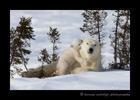 Polar bear cub sharing a secret with mom in Wapusk National Park.
