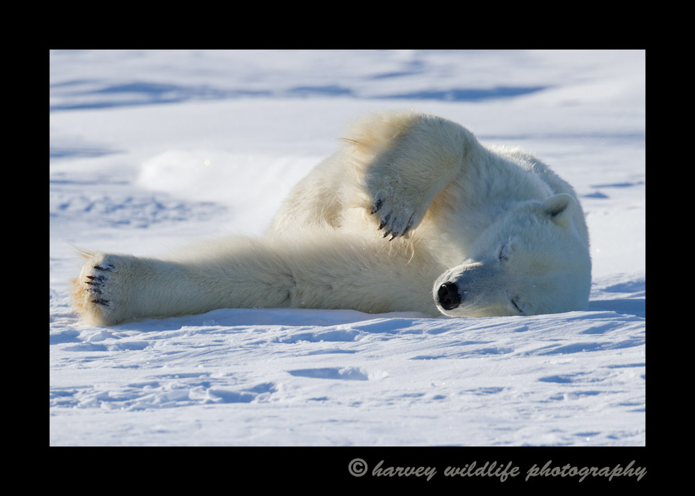 Polar_bear_snow_bath