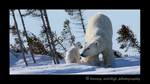 Polar_bear_stretch_pano