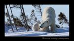 Polar_bear_stretch_pano