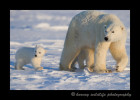Polar_bears_mom_and_cub