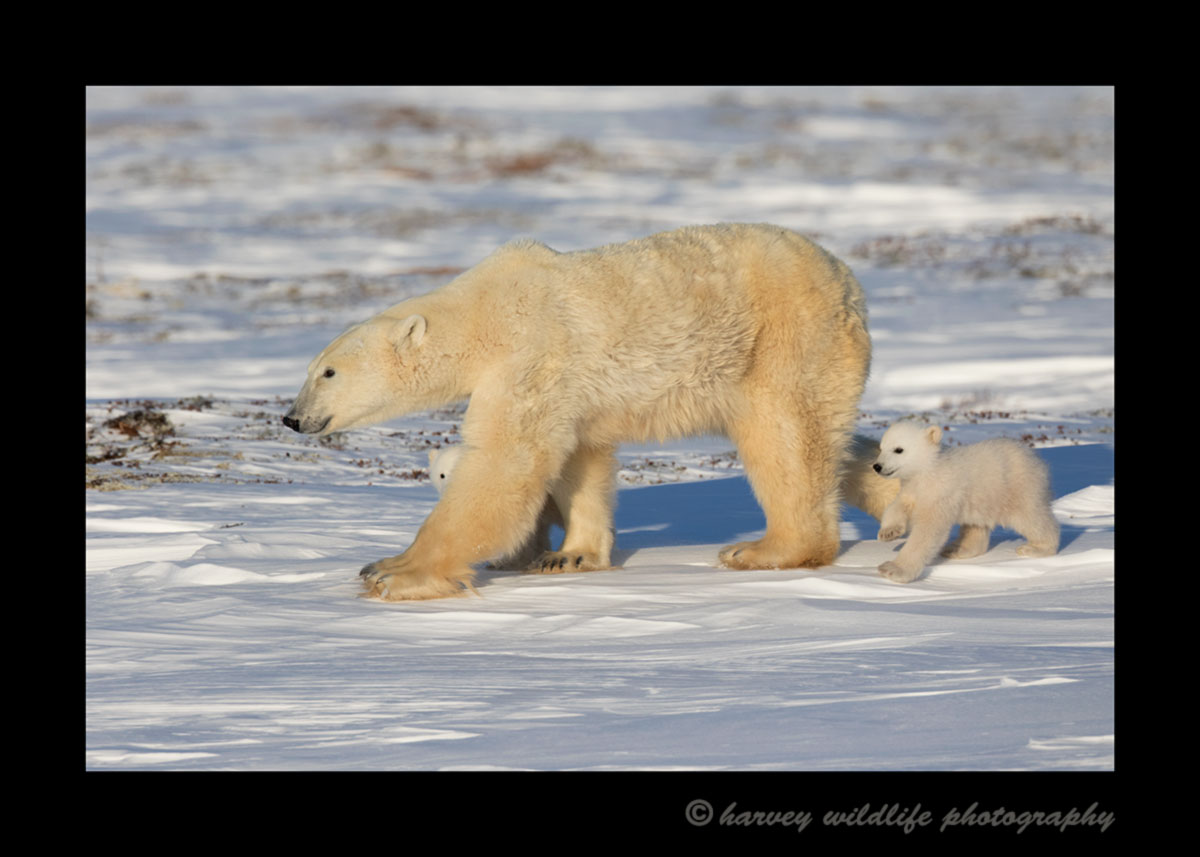 Polar bear mom and cubs walking in Wapusk National Park, 2015.
