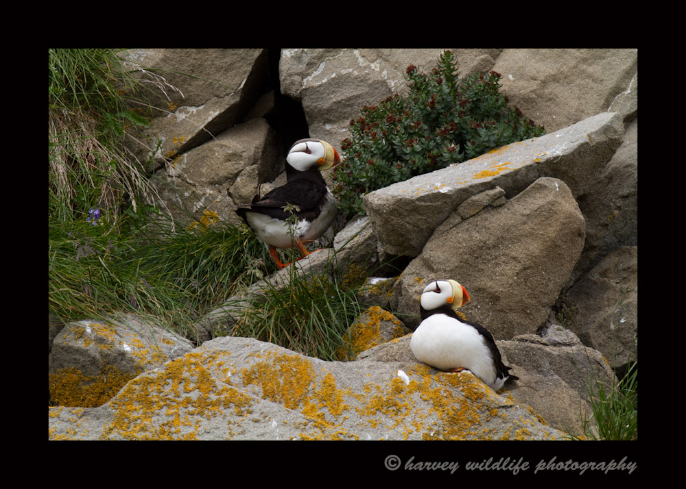 Puffin Couple II
