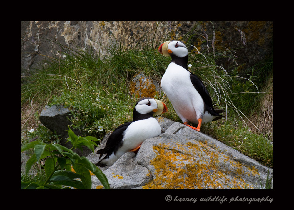 Resting Puffin Couple