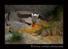 Puffin in Flight II