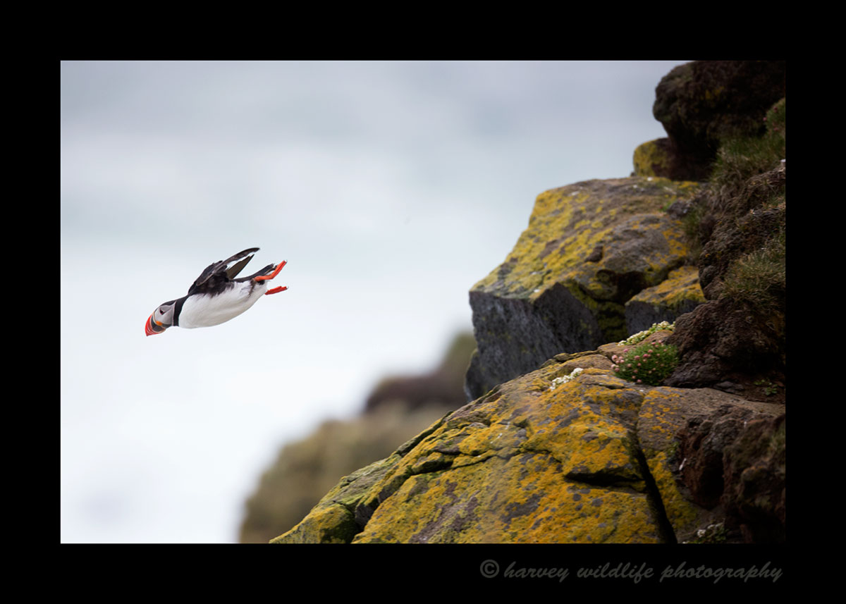 Picture of a puffin flying off the Latrabjarg cliffs in Iceland.
