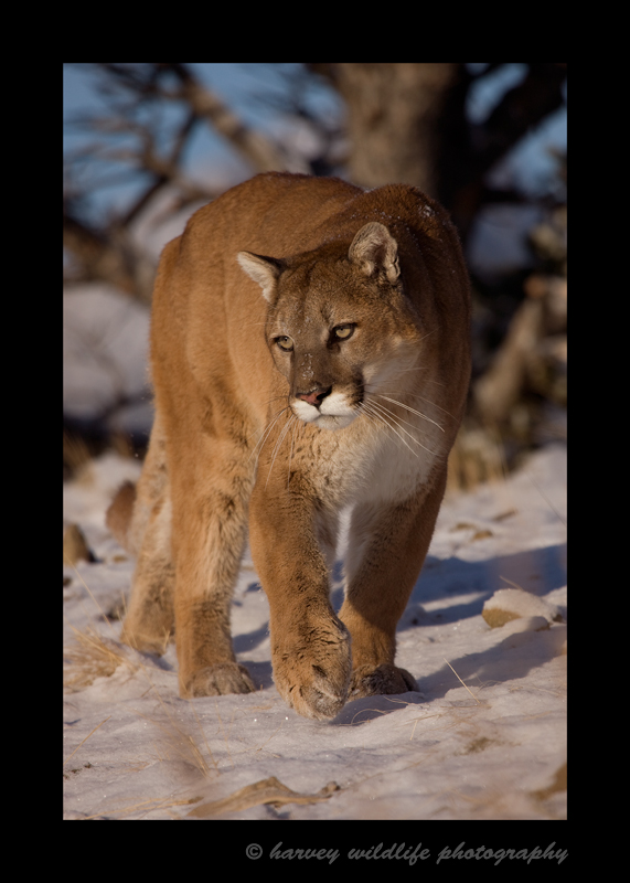 Meet Charlie the resident cougar. He is a wildlife model living in Montana.