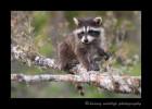 Raccoon II