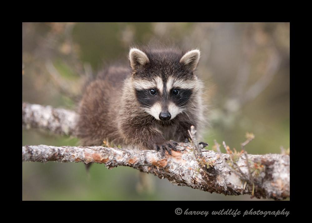 Raccoon III