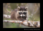 Raccoon III