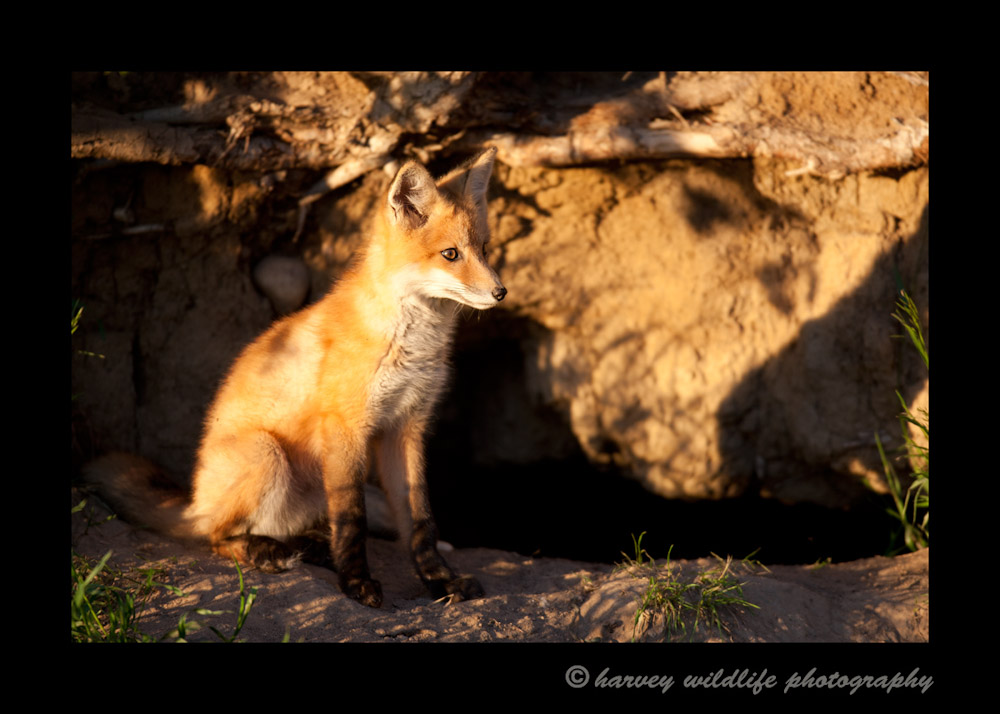 Red-Fox-3S2Y4963