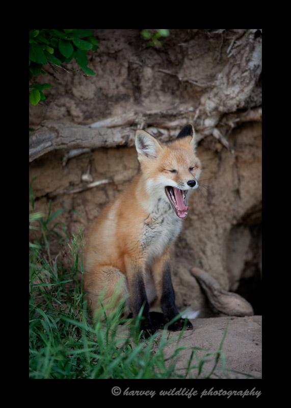 Red-Fox-Yawn