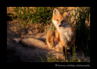 Red-Fox3S2Y4948
