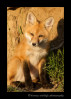 Red-Fox_9308