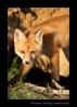 Red-Fox_9316
