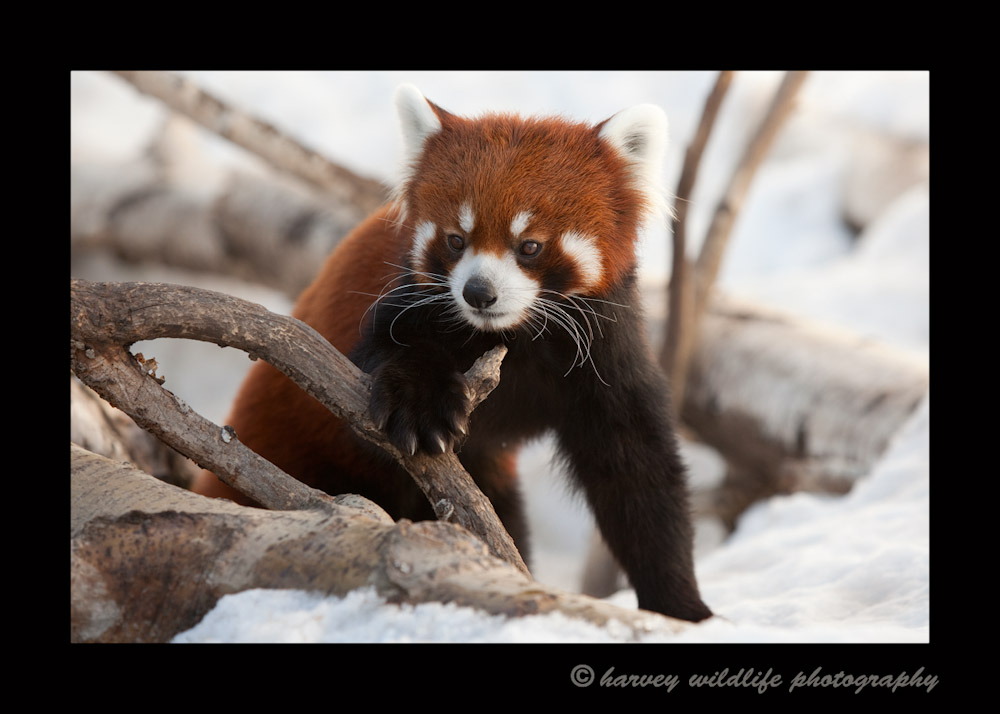 Meet Koko, one of the red pandas from the Edmonton Valley Zoo.