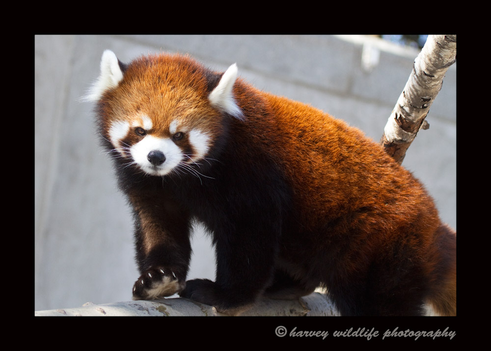 I believe this is Lala. She is one of the red pandas that resides in the Edmonton Valley Zoo.