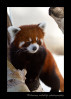 One of the red pandas from the Edmonton Valley Zoo.