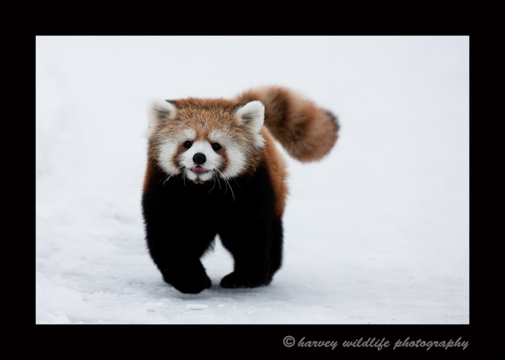 Meet Sha Lei. She is a red panda that was born in the Edmonton Valley Zoo and has since been sent to the Wisonsin zoo, Henry Vilas as part of the species survival program.