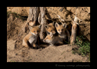 Picture of red fox family outside their den near Stony Plain, Alberta. Photo by Harvey Wildlife Photography.